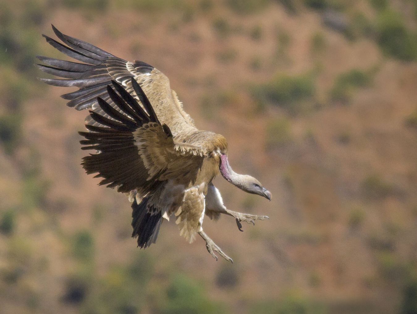 Vulture Preparing for Landing by Czech Conroy