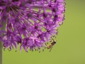 Alium and Hoverfly by Czech Conroy (20)