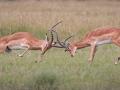 Impala Bucks Fighting by Czech Conroy