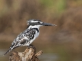 Pied kingfisher by Greg Gillies