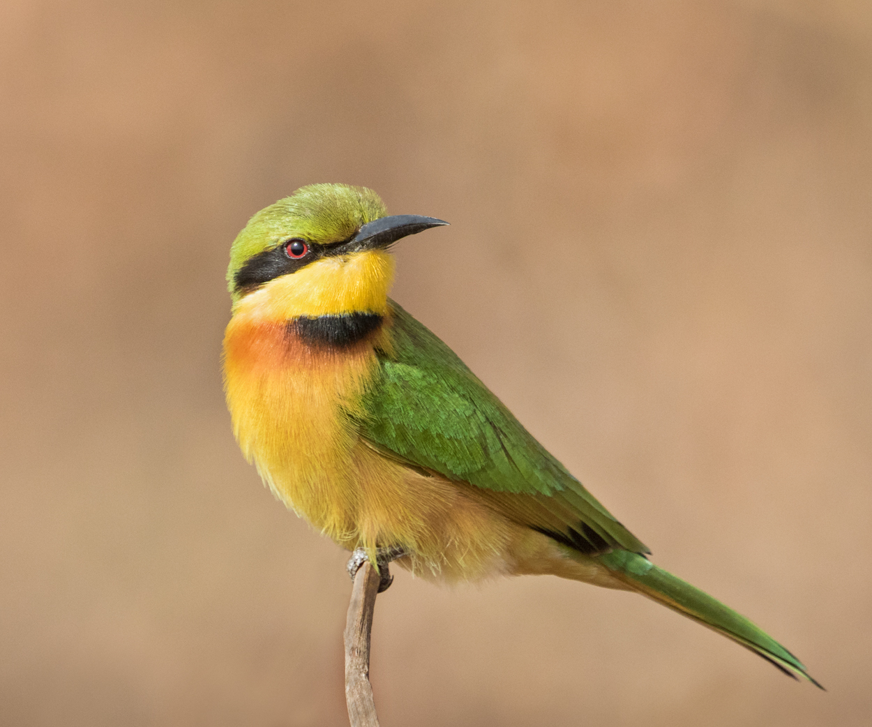 Little Bee-eater by Czech Conroy