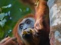 Orang Utan mother and baby, Sumatra by Greg Gillies