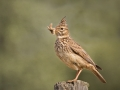 Crested Lark With Food by Czech Conroy
