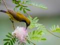 Olive-backed sunbird (Cinnyris jugularis) by Greg Gillies